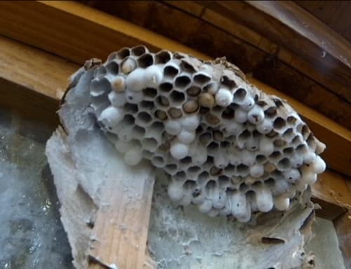 Destruction d'un nid de frelon asiatique très mal placé à Othis