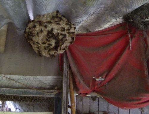 Un nid de frelons asiatiques très dangereux suivi d'une très très grosse attaque