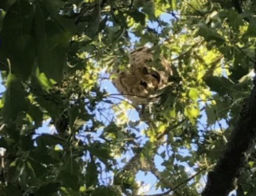 Neutralisation d'un nid de Frelons asiatiques à La Télindière / Saint Jean de Boiseau