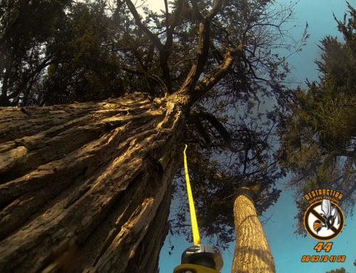 Pornic : destruction d'un nid de Frelons dans un pin à 10 m